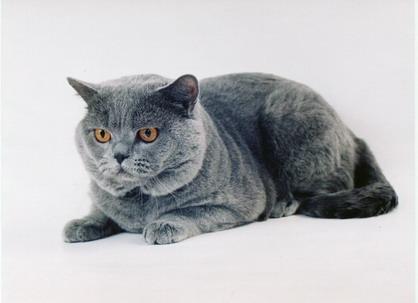 МанчкинФотографии породы кошек Манчкин ХарактерРазмер