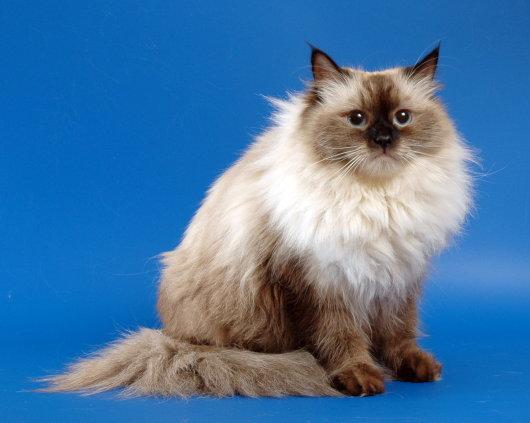 О породе невская маскарадная кошка