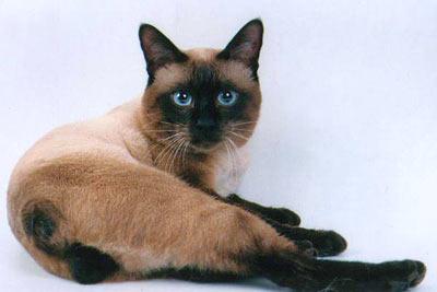 кот меконгский бобтейл фото