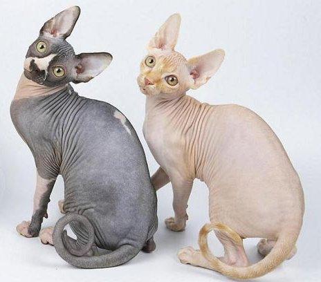 Кот сфинкс отзывы владельцев