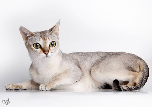 http://www.catsnet.ru/files/singapura-01-.jpg