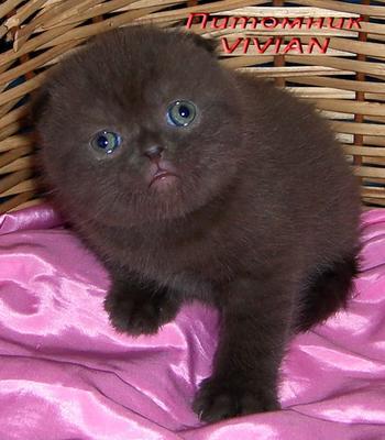 котята плюшевые вислоухие фото