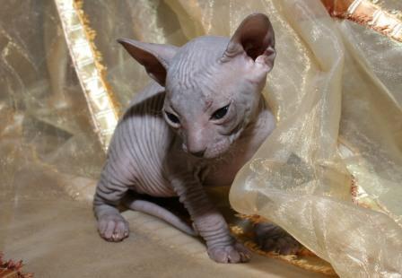 Предлагаю купить донского сфинкса - милые котята. Питомник 2010 год